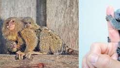 Ils volent des singes miniatures dans un zoo