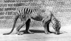 Le tigre de Tasmanie n'aurait pas disparu