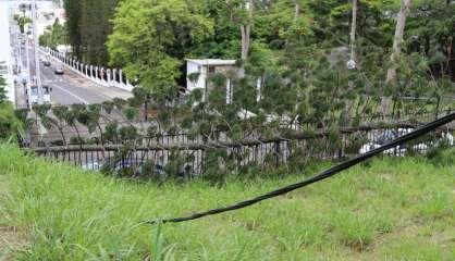 Chute d'un pin colonnaire au parc du haussariat