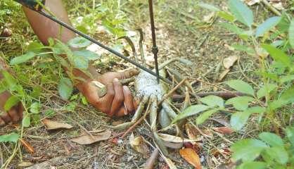Des vacances pour les crabes de palétuviers