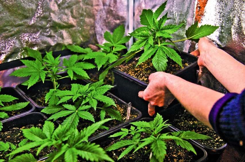 La légalisation du cannabis pourrait-elle réduire le trafic de stupéfiants, notamment d'ice ? En Polynésie, cette drogue toucherait une personne sur 30 selon le centre de consultation en toxicologie.Photo AFP