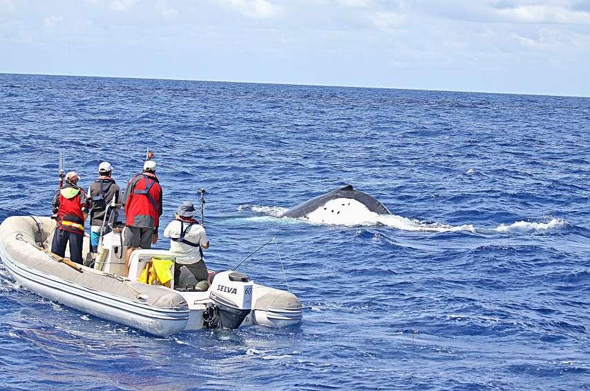 L'étude apporte un nouvel éclairage sur un habitat des baleines jusque-là négligé. « On s'intéressait surtout aux zones côtières », note Solène Derville. Photo IRD/Opération Cétacés/WWF/Parc Naturel de la mer de Corail