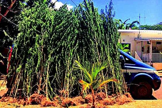 Plus de 700 pieds de cannabis découverts dans un champ