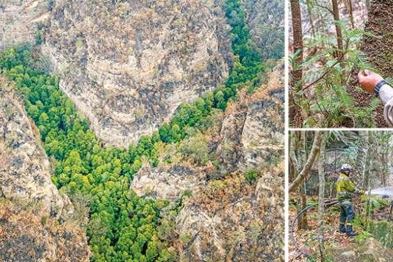 Australie : la mission secrète qui a permis de sauver des arbres préhistoriques