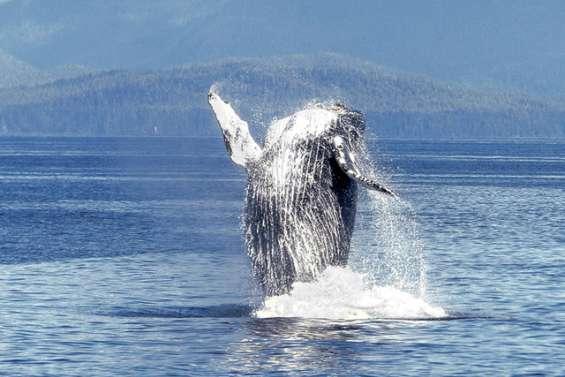 Dans l'intimité des baleines à bosse