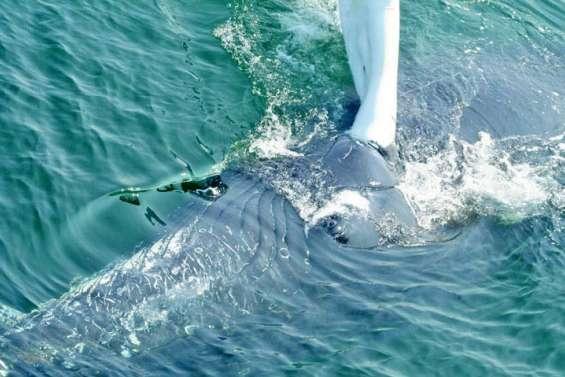 380 baleines recensées dans nos eaux en 2017