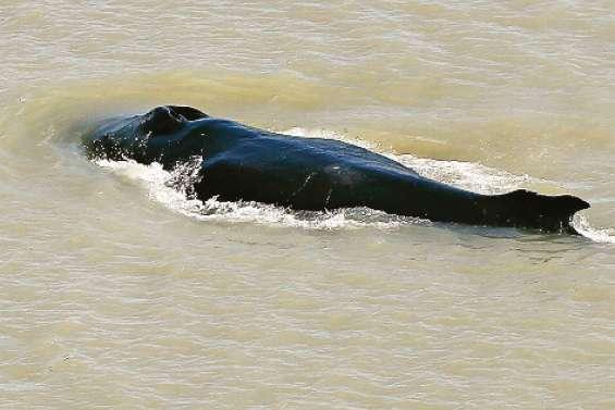 Des baleines à bosse égarées dans une rivière infestée de crocodiles