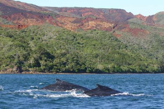 Une première baleine observée dans le lagon Sud