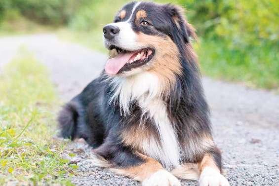 Le berger australien, chien préféré des Français