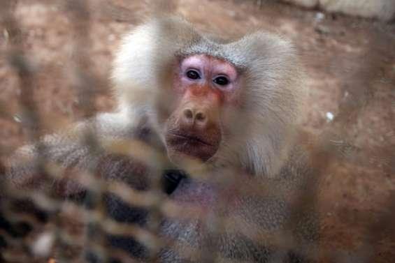 Syrie: près du front, un singe dernier pensionnaire d'un zoo d'Alep