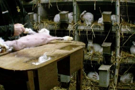 Une association dénonce la souffrance des lapins angora d'élevage