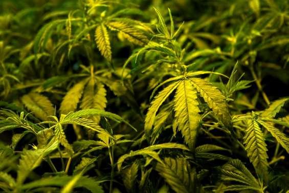 Uruguay: l'Etat va vendre du cannabis en pharmacies dès juillet