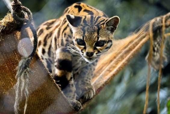 En Colombie, SOS pour les animaux des zoos menacés par le confinement
