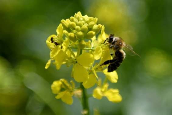 En Albanie, les abeilles font leur miel du coronavirus