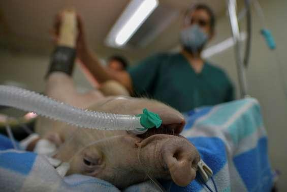 Coronavirus: au Panama, un cochon sert de cobaye pour un nouveau respirateur