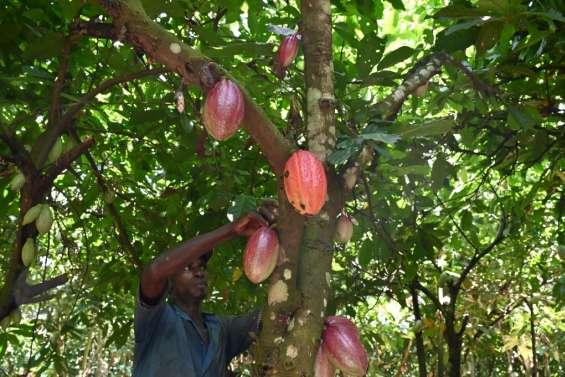 Cacao: les planteurs ivoiriens menacent de