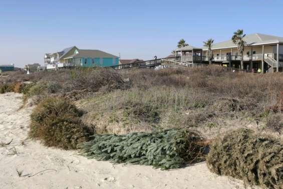 Au Texas, des sapins de Noël au secours des dunes rasées par les ouragans