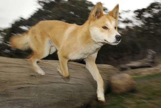 Australie: des images inédites révèlent la vie secrète d'un dingo