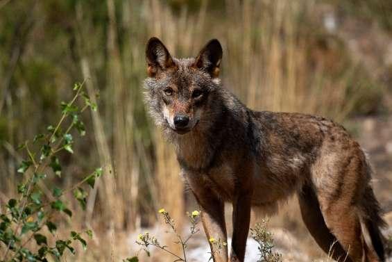 La chasse au loup désormais interdite dans toute l'Espagne, au grand dam de certaines régions