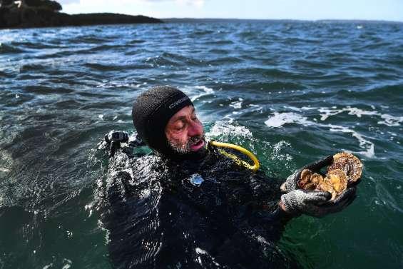 Menacée d'extinction, l'huître plate pourrait revenir dans les assiettes