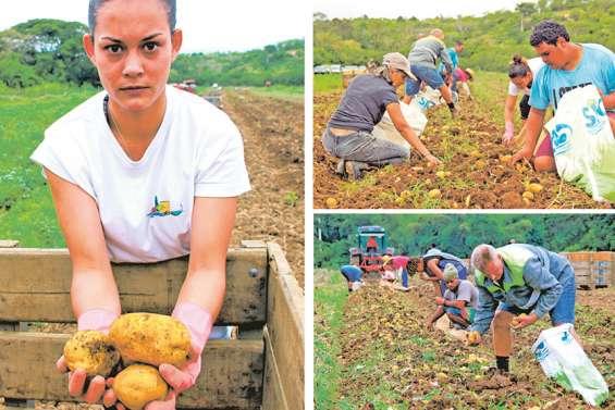La pomme de terre, star des champs