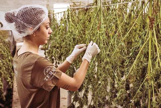 Les Kiwis voteront-ils pour la légalisation du cannabis ?