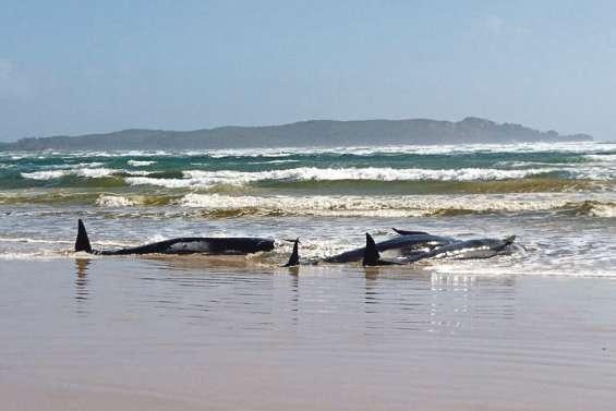 Des centaines de cétacés coincés sur un banc de sable