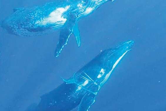 Deux baleines en difficulté à cause de cordes