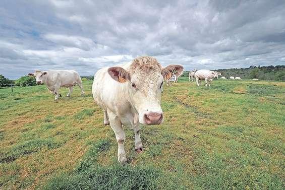 Les sécheresses à répétition menacent l'élevage du charolais