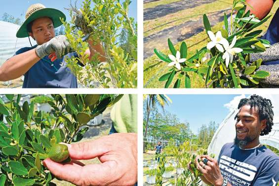 [VIDÉO] Le citrus calédonien au secours de la filière agrumes