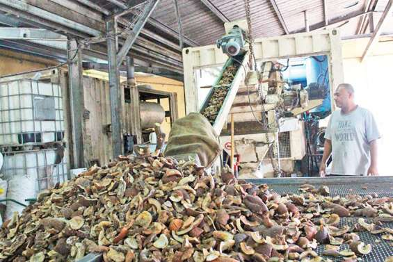 La production de coprah à Ouvéa relancée le temps du confinement