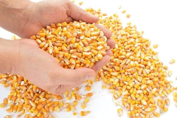 Des rendements de blé catastrophiques