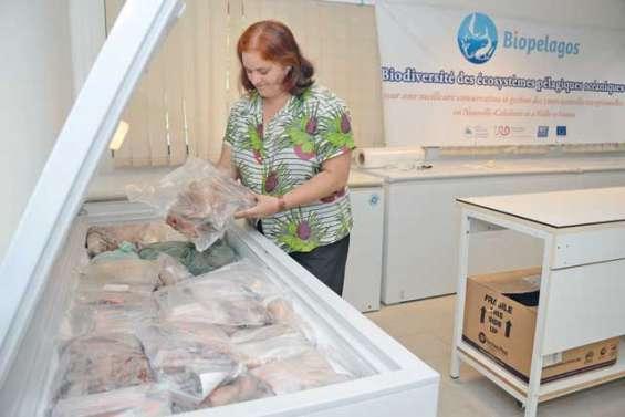 À la CPS, des milliers d'échantillons pour en savoir plus sur les thons
