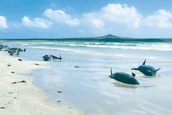 De nombreux « dauphins pilotes » échoués en Nouvelle-Zélande