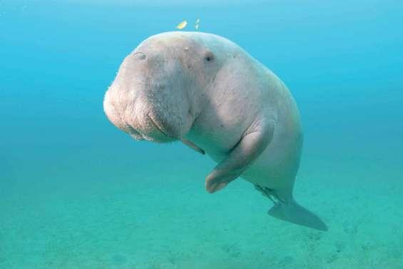 La population de dugongs  divisée par deux en dix ans