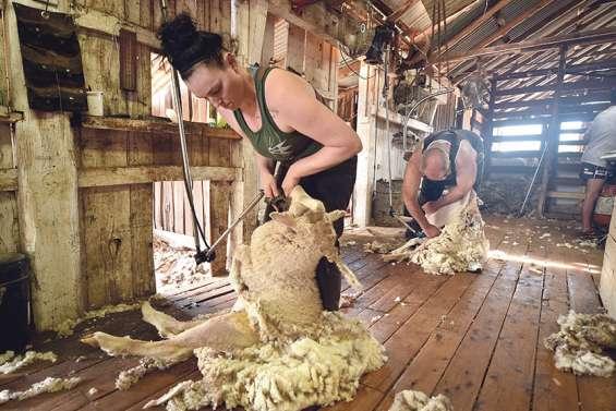En Australie, la fermeture des frontières perturbe la saison de la laine
