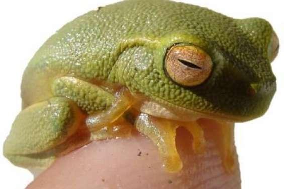 Deux nouveaux spécimens de grenouille australienne envahissante retrouvés à Voh