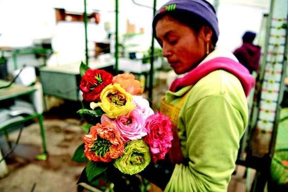 En Equateur, 3e exportateur de roses, la Saint-Valentin, c'est mieux que Noël