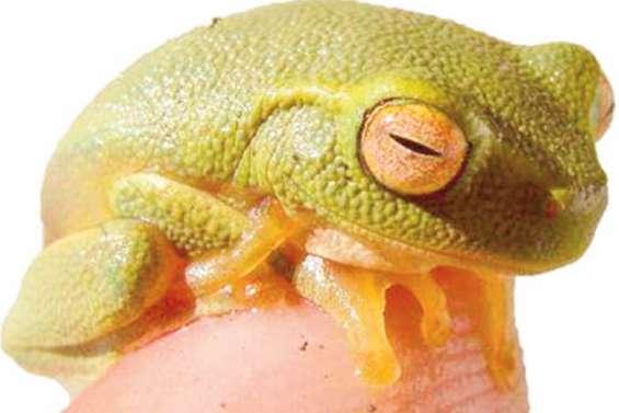 Deux spécimens de grenouille envahissante retrouvés à Voh