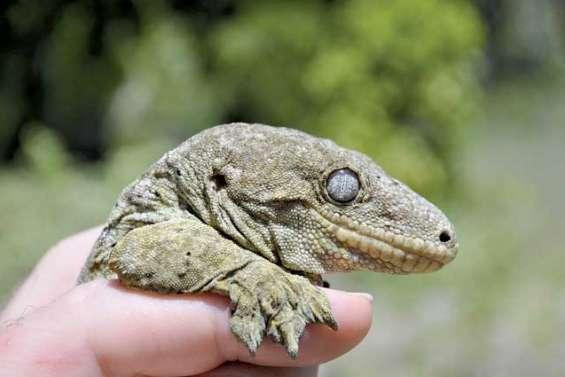 Les geckos, baromètres vivants  de notre biodiversité