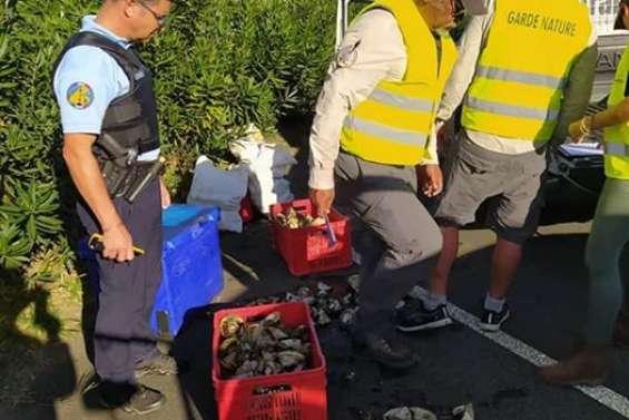 250 kg de trocas saisis à Boulouparis, dimanche