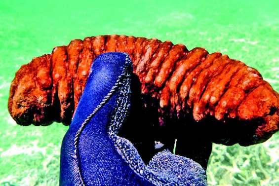 Des holothuries braconnées en Corse