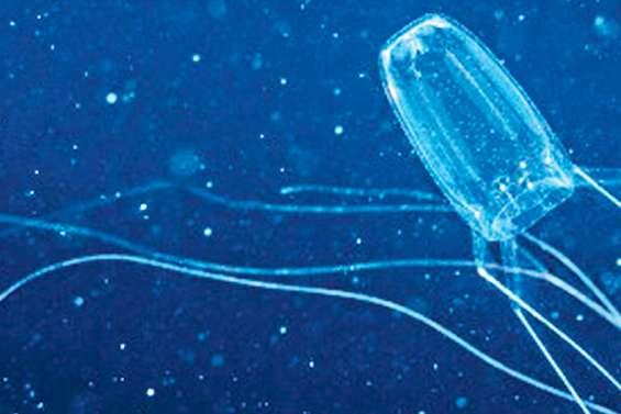 Des méduses dangereuses de l'îlot Amédée à Bourail