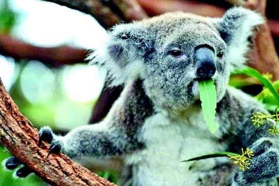 Plus de cent koalas déplacés seraient morts