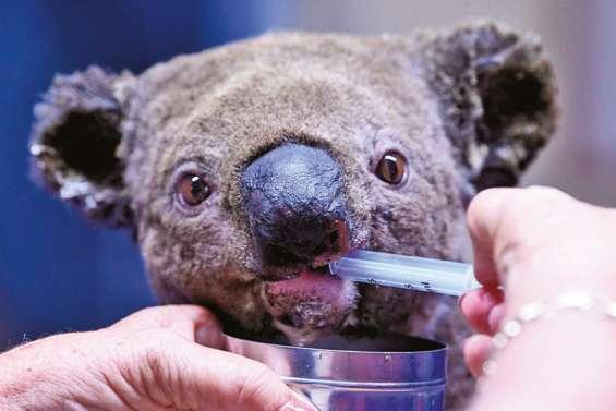 « En 2050, il n'y aura plus de koalas dans l'État »