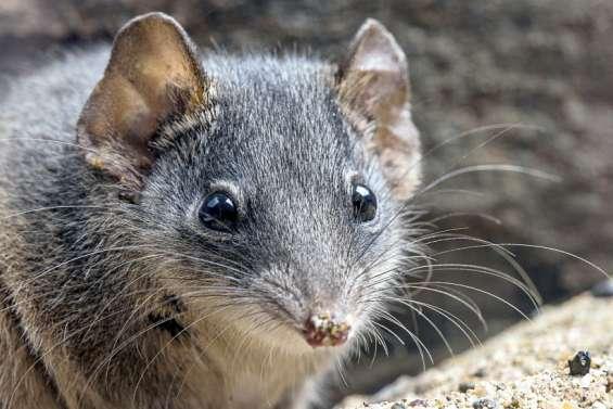 Australie : le petit marsupial qui avait décidé que finalement la vie valait le coup