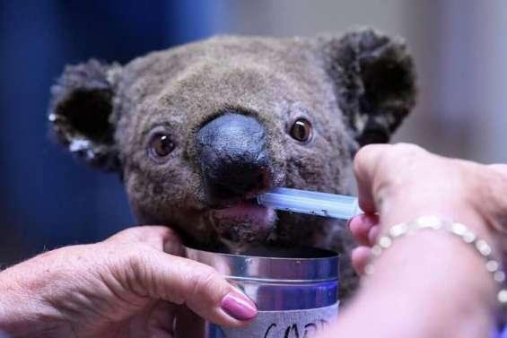 Des incendies qui ont frappé 60000 koalas