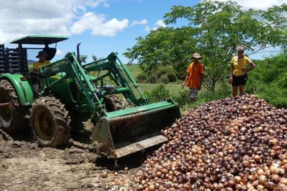 Plusieurs tonnes d'oignons gâchées dansune exploitation de Pouembout