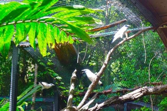 [VIDÉO] Braconnés pour leur beauté, ces oiseaux de Bali ont trouvé refuge sur le Caillou