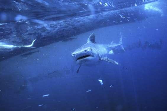 Des contrôles renforcés face au risque requin